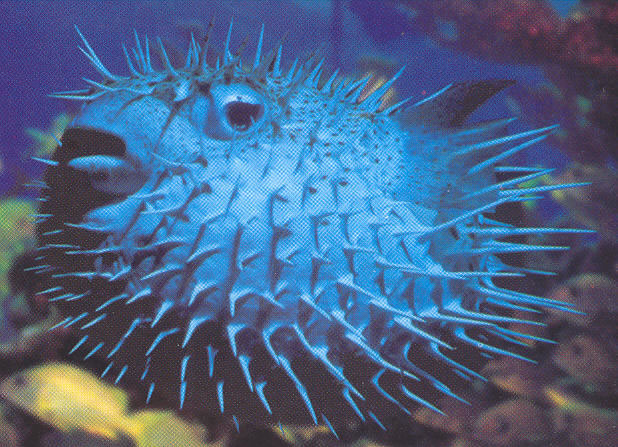 Worlds most poisonous top 10 list live and learn for Giant puffer fish
