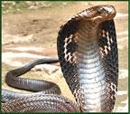 worlds most poisonous king cobra
